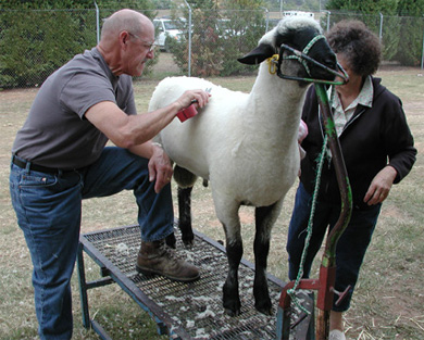 Sheep Grooming