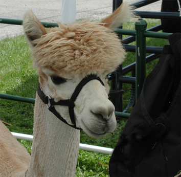 Alpaca at Great Lakes Fiber Show